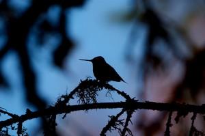 Robin Tapley Bird