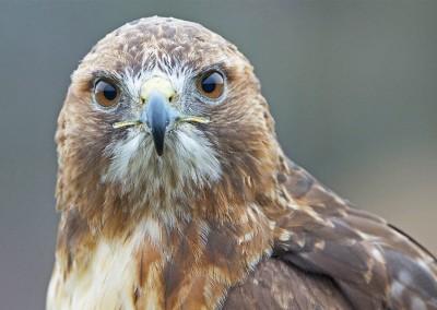 Robin Tapley Hawk